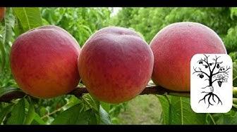 Pfirsich schneiden - Nektarine, Tellerpfirsich - Obstbaumschnitt