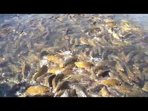 Sea Of Carp At Raystown Lake, Huntingdon PA