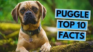 Puggle dog  TOP 10 Interesting Facts