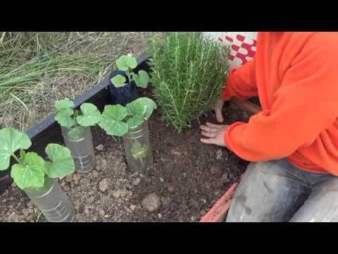 Cultivando c tricos como plantar limones en macetas con - Plantar limonero en maceta ...