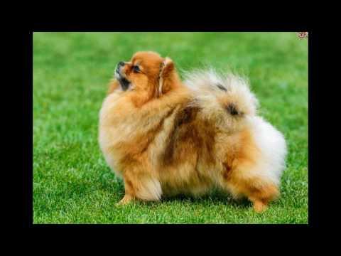 Pomeranian Dog animals latest video