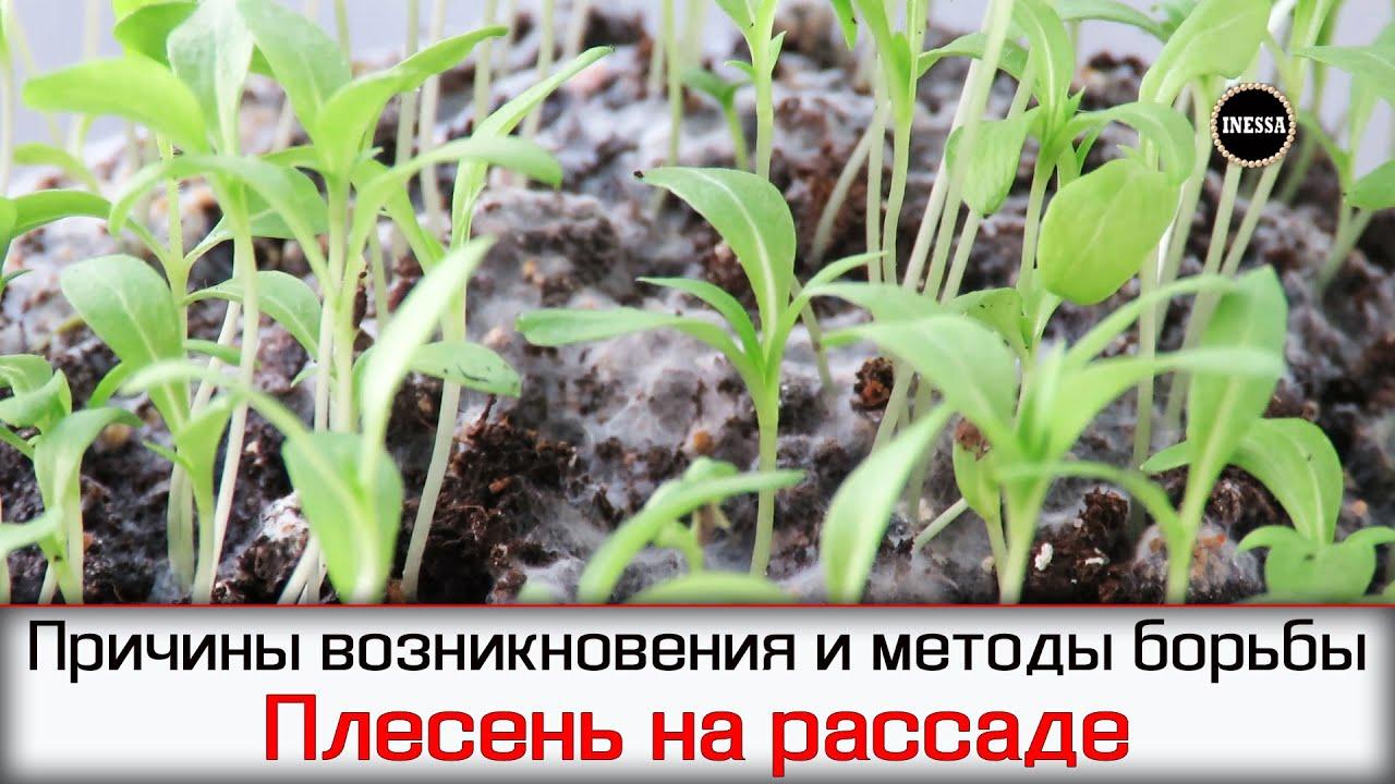 Почему плесневеет земля в рассаде