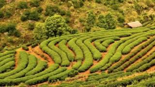 Tea Thaïlande Unami
