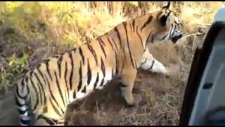 Very Close Tiger Encounter during Jungle Safari in India