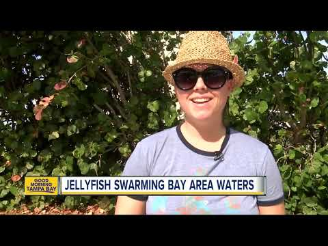 Thousands Of Atlantic Sea Nettle Jellyfish Are Now Swarming Tampa Bay Area Waters