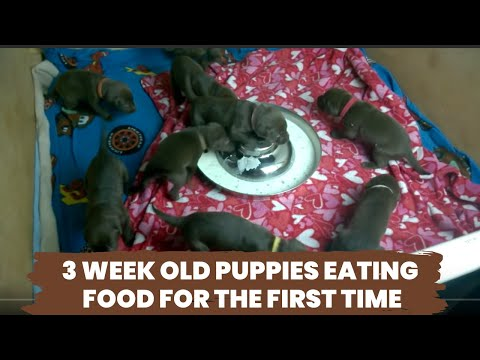 3 week old puppies eating food for the first time