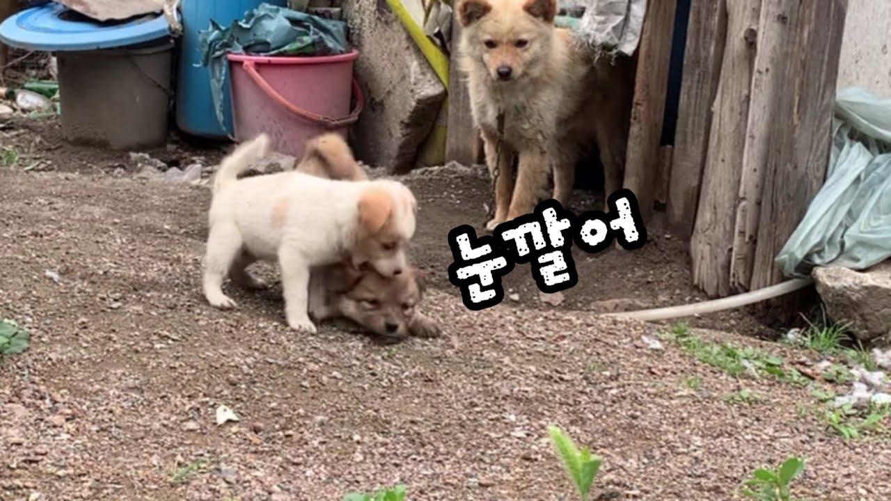 시골 새끼 강아지들의  귀여운 서열싸움(개싸움)