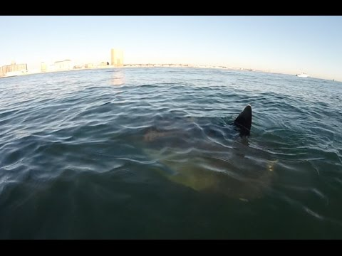 OCEAN SUNFISH Sighted In Asbury Park NJ While Striper Fishing
