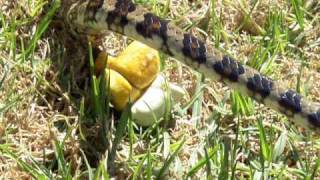 Ever wondered how snakes poo? thumbnail