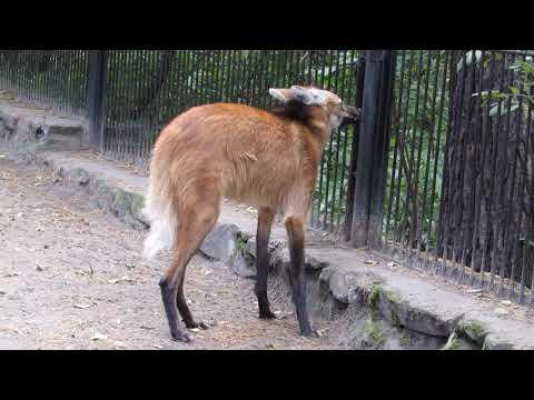 Вопрос: Гривистый волк и обычный серый. В чем сходство и отличия?