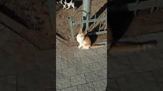 Милый рыжий кот жалобно мяукает. Funny Red Cat Meow. Kucing Lucu. Lustige Katzen. Gatos Graciosos