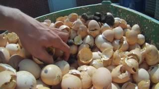بلجيكا شاهد كيف تتخلص مزارع فلاندرز من كتاكيت الدجاج