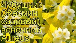 чубушник венечный Ауреус. Краткий обзор, описание характеристик, где купить саженцы