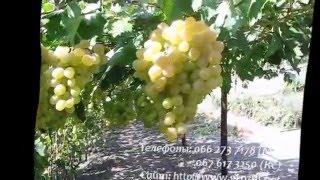 видео Виноград Антоний Великий