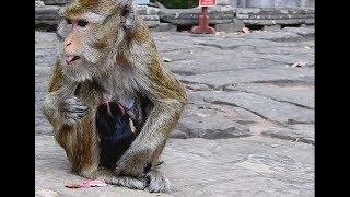 Baby Monkey 2nd Weakness-Mom Still no Milk For Baby. MV 0157