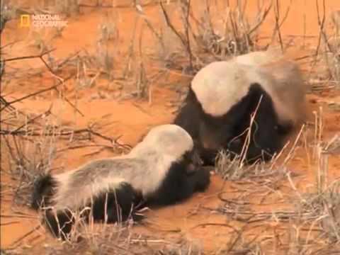 National Geographic Snake Killers Honey Badgers Of The Kalahari