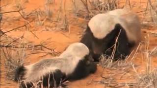 National Geographic Snake Killers Honey Badgers Of The Kalahari