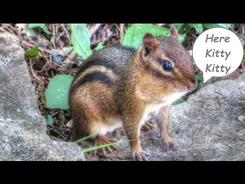 Video For Cats -  Chipmunks!