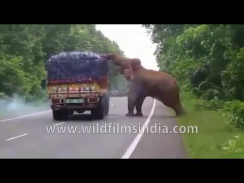 Wild Elephant helps