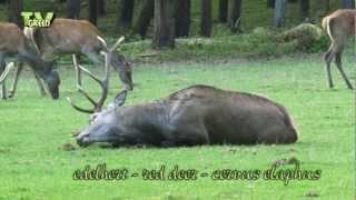 Red Deer stag in Rut - Hertenbronst - Cervus Elaphus #16