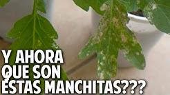 Manchas Blancas con puntos Negros en las hojas? - Control de Plagas - Trips @cosasdeljardin