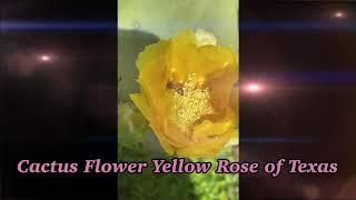 Cactus Flower Yellow Rose of Texas .🇺🇸🇺🇸