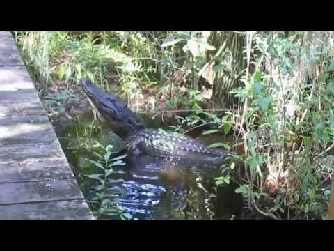 Alligator bellowing in the Okefenokee Swamp 10/6/14
