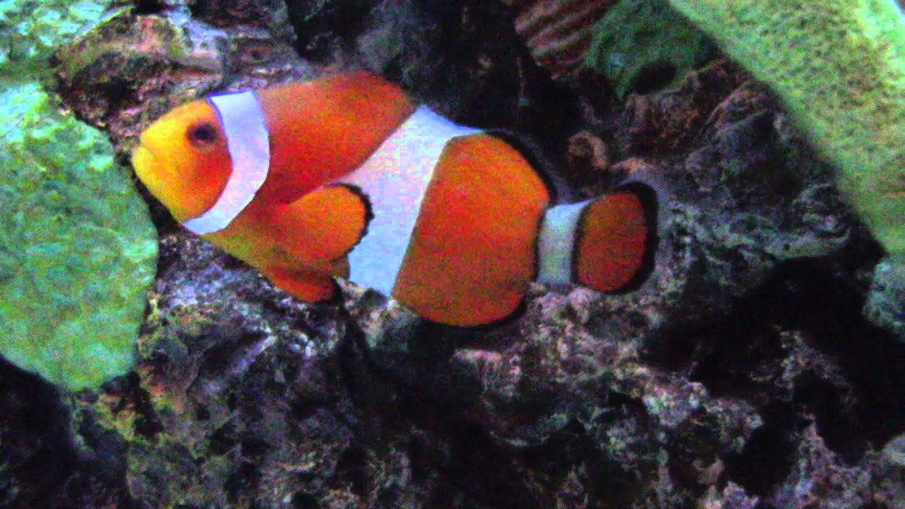 Finding nemo clown fish and other hawaiian tropical fish for Clown fish nemo