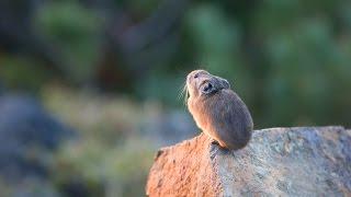 ナキウサギ 5 Japanese Pikas Calling Out : Cute animals in Nature
