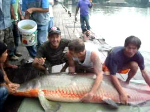 river monster,the biggest arapaima ever caught on video ...