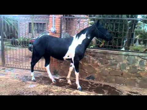 venta de caballo pinto - YouTube