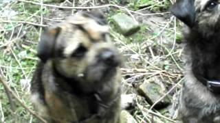 Border Terrier Hungry
