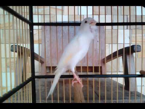 suara burung kenari putih yang merdu
