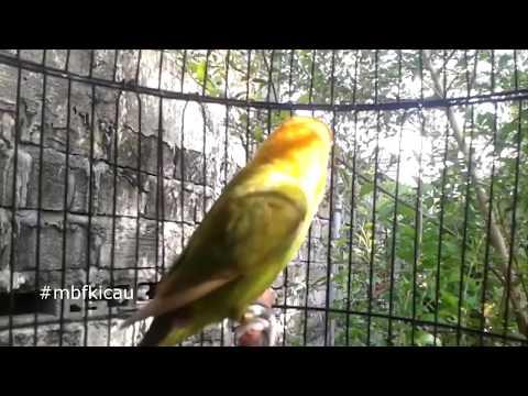 TRIK MEMANCING LOVEBIRD PAUD MUDA USIA 3 BULAN MENJADI FIGHTER, 99% AMPUH, GUNAKAN LOVEBIRD NGETIK R