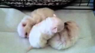 White Pomeranians For Sale