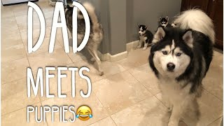 Husky Puppies Meet Their Dad