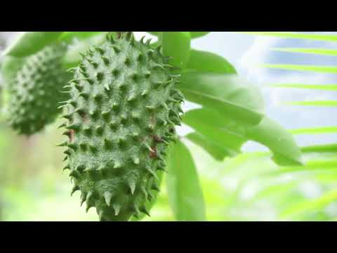 TKO Farms, Ltd. to be World's Largest Soursop Grower- MoneyTV with Donald Baillargeon