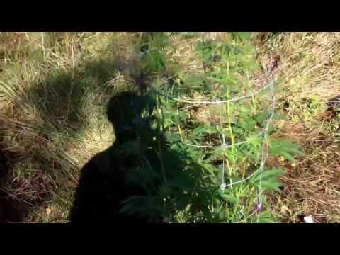 Growing cannabis/weed in denmark, It's windy as f!*k