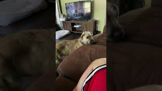 Irish wolf hound puppy whines because it can't get to other dog