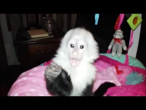 Baby Monkey Training Video - YouTube 27c0d87ac60e