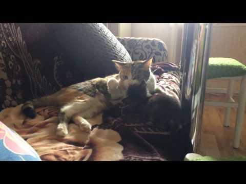 European Shorthair Sid  and cat Sonya / Европейская короткошерстная Сид и кошка Соня