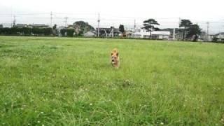 お〜い あたまる(ノーリッチテリア.jp)http://norwichterrier.jp/ ノ...