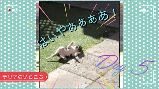 【Day5】Tenterfield x Jack Russell super playful 8 weeks old puppy. テンティー x ジャックラッセルテリアの子犬。