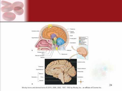 Chapter 9 - The Nervous System