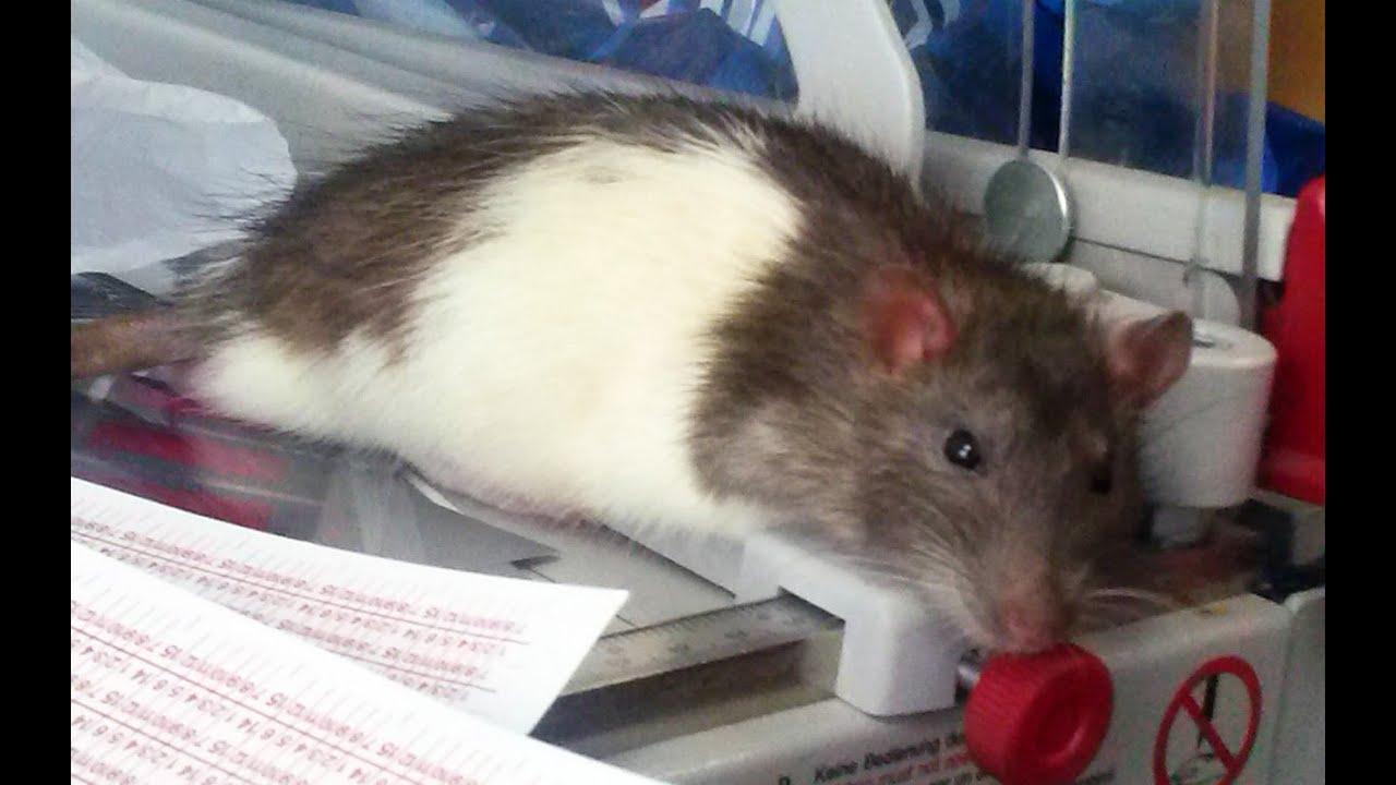 Домашняя крыса на работе. Fancy rat - YouTube