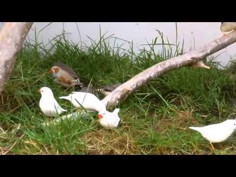 Bán chim manh manh Nhật tại Hà nội sdt 01664484655