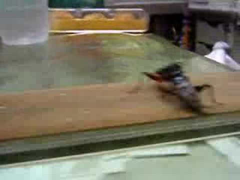 鬥蟋蟀台灣島上好鬥的黃斑黑蟋蟀