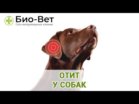 Вопрос: Как лечить ушные инфекции у собак?