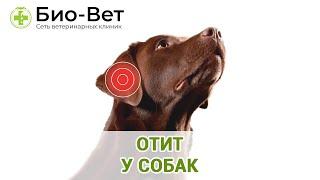 Отит у собак. Ветеринарная клиника Био-Вет.