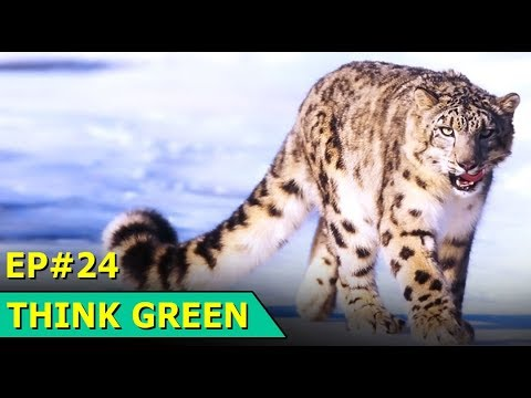Snow Leopards | Air Pollution | Everest Rubbish | Fishing Research | Think Green Episode 24